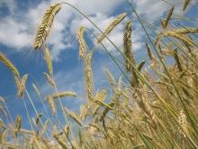Въпреки ниските цени на зърното, производителите са принудени да продават