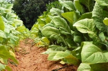 """82 производители от Шуменско получиха субсидии от втория транш за тютюн """"Басми"""""""