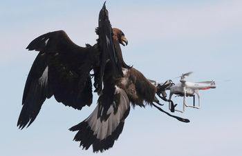 Фотогалерия: Орел срещу дрон