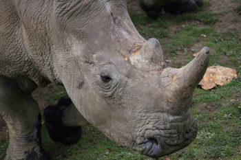 За пръв път в Европа бракониери убиха носорог в зоопарк