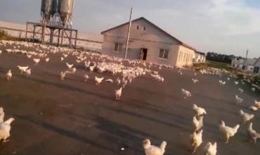 В Тайван изклаха хиляди кокошки