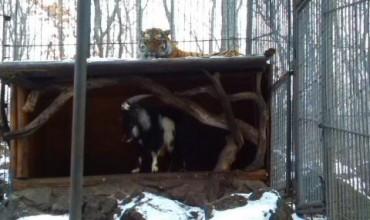 Нова дружба между тигър и козел
