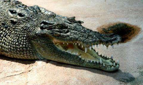 Човешки останки бяха намерени в крокодил