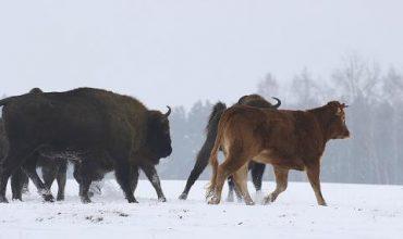 Домашна крава хвана гората