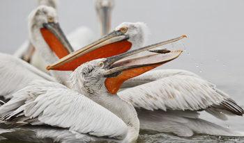 """Колония къдроглави пеликани отново гнезди в резервата """"Сребърна"""""""