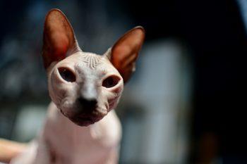 Фотогалерия: Изложби в София събира най-расовите котки
