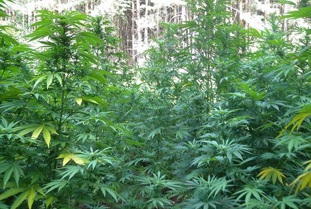 Баба отглеждала марихуана в двора на къщата си в Зая
