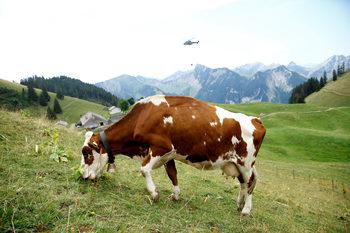 Фотогалерия: Швейцарската военна авиация в помощ на кравите