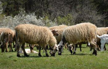 Субсидия получвават фермерите, отглеждащи кози и овце в засегнатите от чумата райони