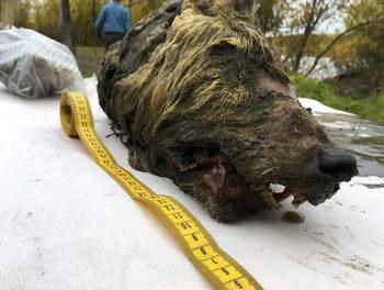 Глава на вълк, открита в Сибир, е на 40 хил. години (видео)
