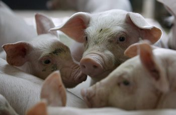 Ферма в Русенско е засегната от чумата по свинете