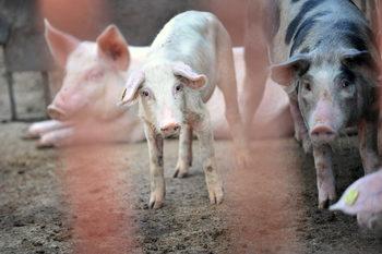 Между Белене е Свищов е изхвърлен труп на домашна свиня с африканска чума