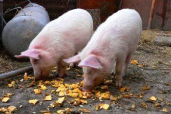 Проверките за прасета в личните стопанства в Плевенско започват от утре