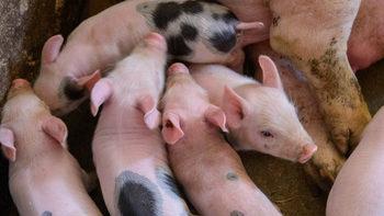 В Голямо Враново ще бъдат унищожени 20 хил. прасета, нов случай на зараза в Ломско