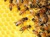 Пчелари в Смолян настояват за по-строг контрол на нерегистрираните пчелини