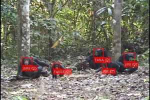 Изкуствен интелект използван за разпознаване на лица на примати в природата