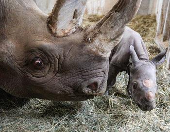 Рядък черен носорог се роди в Мичиган