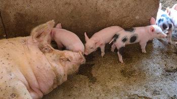 Държавата праща свои ветеринари в свинекомплексите и затяга режима на транспортиране