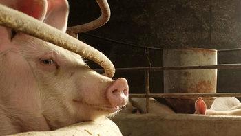 Европа е пред нова вълна на чумата по свинете