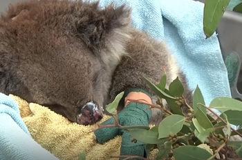 Как спасяват оцелелите животни в Австралия