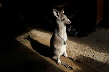 Фотогалерия: Да спасиш кенгуру