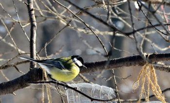 Коя е птицата символ на София