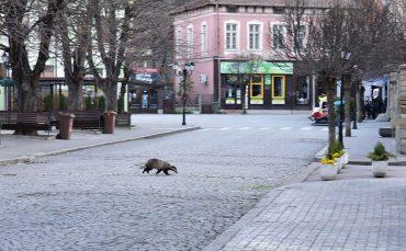 Язовец се разходи посред бял ден в центъра на Трявна